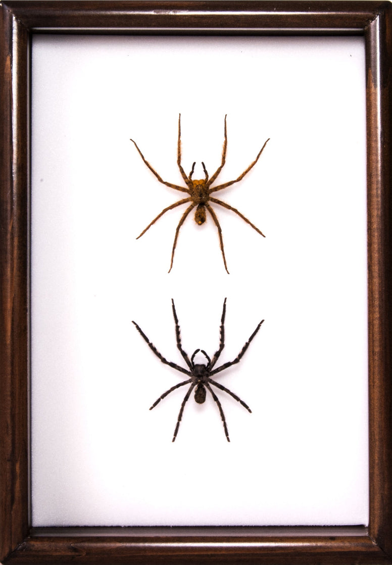 Wolf Spider Type A - 21x30  Brown, Spider Frame - Insect Frame UK, Insect Frame UK  - 1