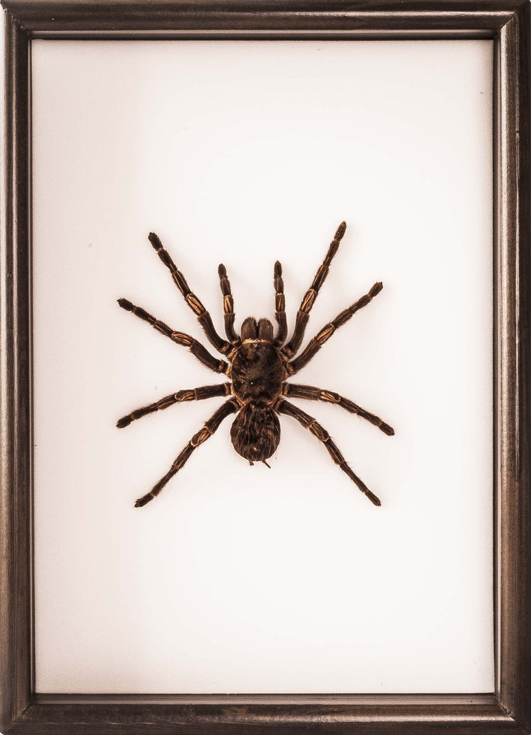 Costa Rican Zebra Tarantula Type A 25x35 Dark Brown, Spider Frame - Insect Frame UK, Insect Frame UK  - 3
