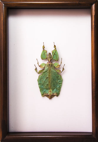 Giant Leaf Insect Type A 21x30 dark Brown, Insect Frame - Insect Frame UK, Insect Frame UK  - 1
