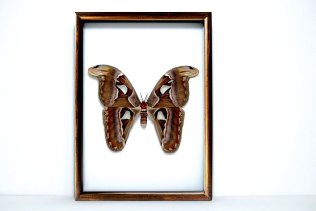 Framed Giant Atlas Moth Solid wood brown frame, Moth Frame - Insect Frame UK, Insect Frame UK  - 3