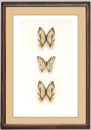 Golden Beauty of Nature Butterflies - Insect Frame UK
