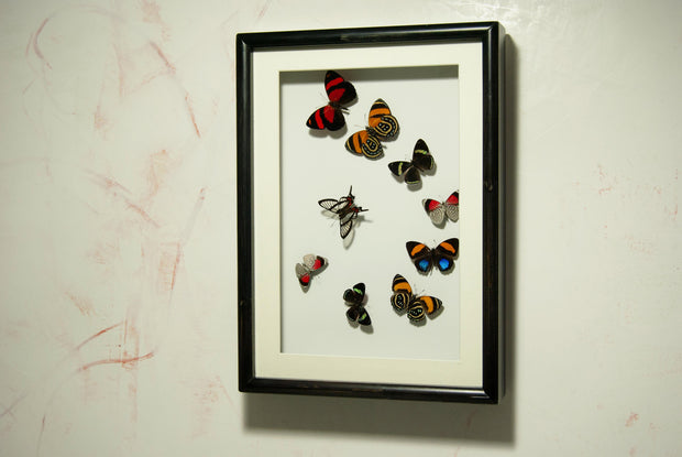 Art with Callicores , Butterfly Frame - Insect Frame UK, Insect Frame UK  - 4