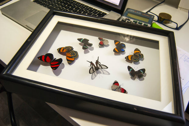 Art with Callicores Variant 1, Butterfly Frame - Insect Frame UK, Insect Frame UK  - 1
