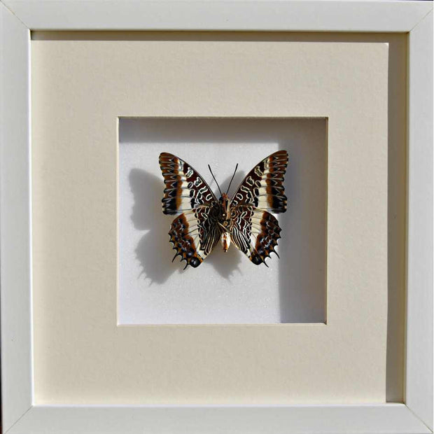 White Barred Emperor Single rear side - White, Butterfly Frame - Insect Frame UK, Insect Frame UK  - 3
