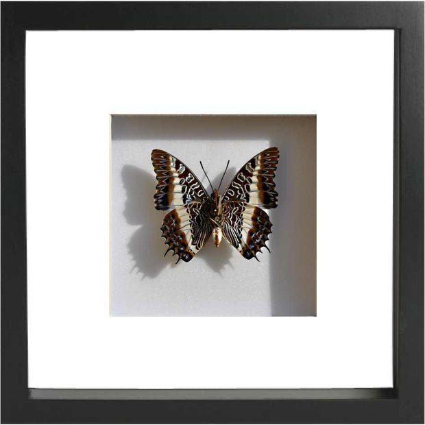 White Barred Emperor Single rear side - Black, Butterfly Frame - Insect Frame UK, Insect Frame UK  - 1