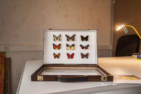 Africans Butterflies Collection - Suitcase gift option - Insect Frame UK
