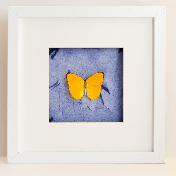 Apricot Sulphur White + Oil painted background, Butterfly Frame - Insect Frame UK, Insect Frame UK  - 3