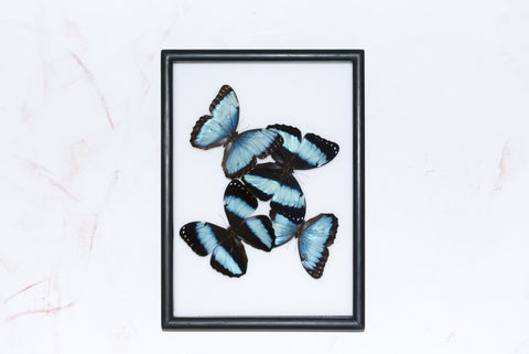 Morpho helenor and ulysses , Butterfly Frame - Insect Frame UK, Insect Frame UK  - 1