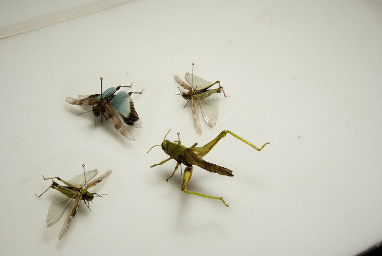 Crickets Four colourful crickets, Insect Frame - Insect Frame UK, Insect Frame UK