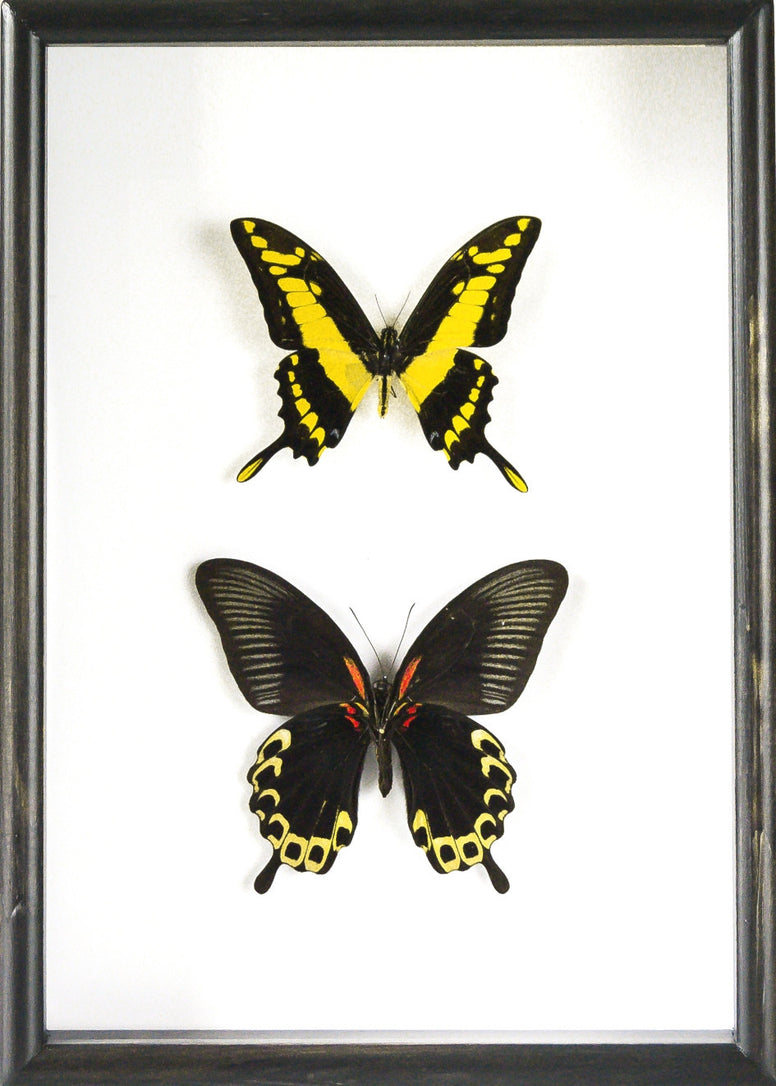 Yellow Enthusiasm Vertical set, Butterfly Frame - Insect Frame UK, Insect Frame UK
