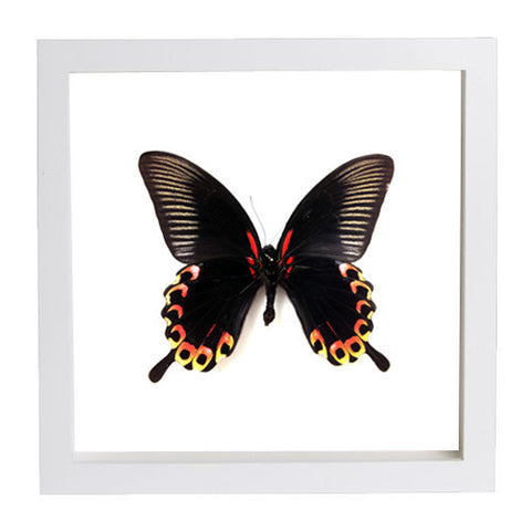Scarlet Mormon Butterfly Papilio deiphobus Framed white/White background, Butterfly Frame - Insect Frame UK, Insect Frame UK  - 1