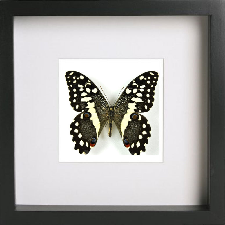 Lime Butterfly Black frame - white background, Butterfly Frame - Insect Frame UK, Insect Frame UK  - 2