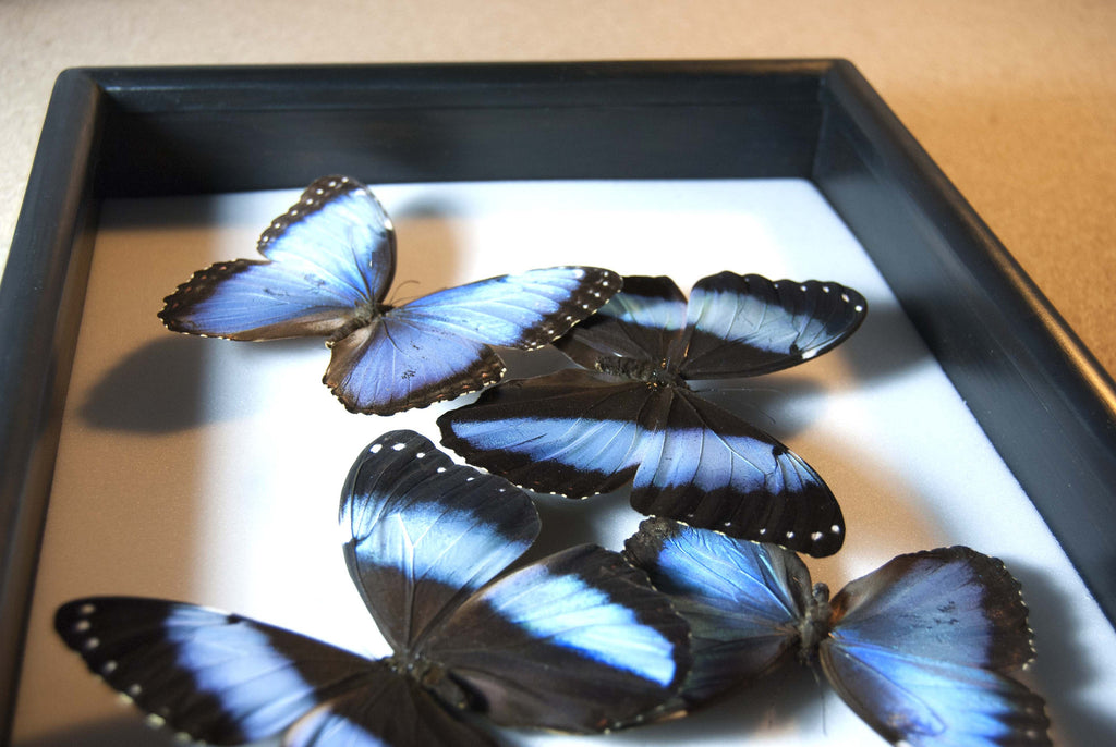 Morpho helenor and ulysses 25x35 Black, Butterfly Frame - Insect Frame UK, Insect Frame UK  - 2