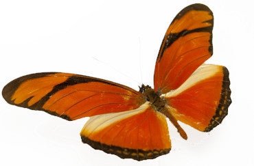 Flambeau Butterfly - Insect Frame UK