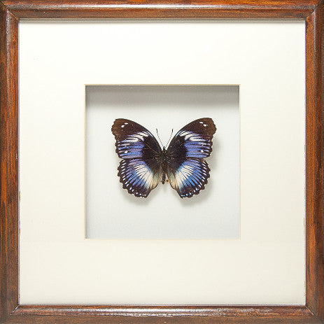 Blue Diadem Diadem in Solid wood dark brown, Butterfly Frame - Insect Frame UK, Insect Frame UK  - 1