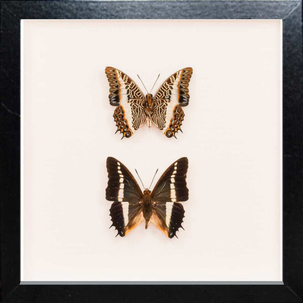 White Barred Emperor Rear & Top Side Black, Butterfly Frame - Insect Frame UK, Insect Frame UK  - 2
