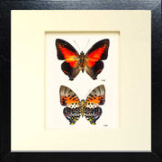 Red Charaxes Zingha Fiberboard duo black, Butterfly Frame - Insect Frame UK, Insect Frame UK  - 4