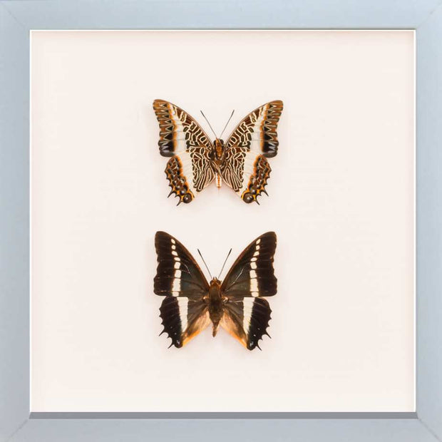 White Barred Emperor Rear & Top Side White, Butterfly Frame - Insect Frame UK, Insect Frame UK  - 4