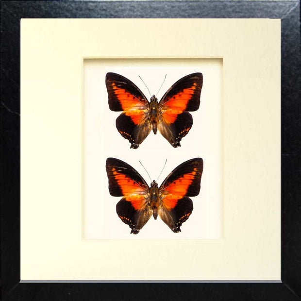 Red Charaxes Zingha Fiberboard top&rear black, Butterfly Frame - Insect Frame UK, Insect Frame UK  - 5