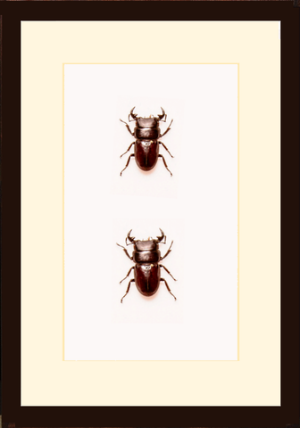 Dorcus Parryi Duo 21x35x5, Beetle Frame - Insect Frame UK, Insect Frame UK  - 1