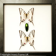 Red Lights Collection Green Light in black, Butterfly Frame - Insect Frame UK, Insect Frame UK  - 3
