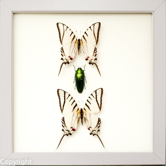 Red Lights Collection - Insect Frame UK