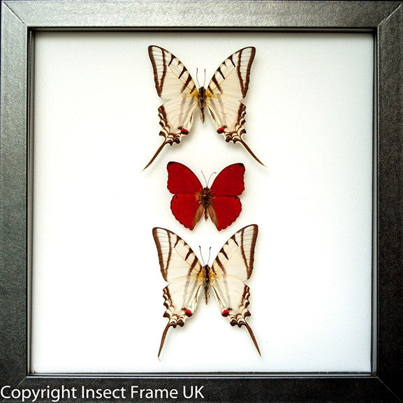 Red Lights Collection Red Light in black, Butterfly Frame - Insect Frame UK, Insect Frame UK  - 1