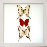 Red Lights Collection Red Light in white, Butterfly Frame - Insect Frame UK, Insect Frame UK  - 2
