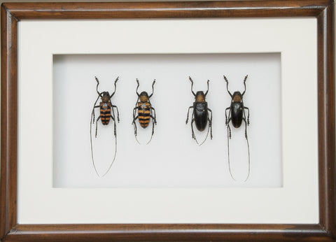 Nemophas Pair Double pair 21x30 brown, Beetle Frame - Insect Frame UK, Insect Frame UK  - 1