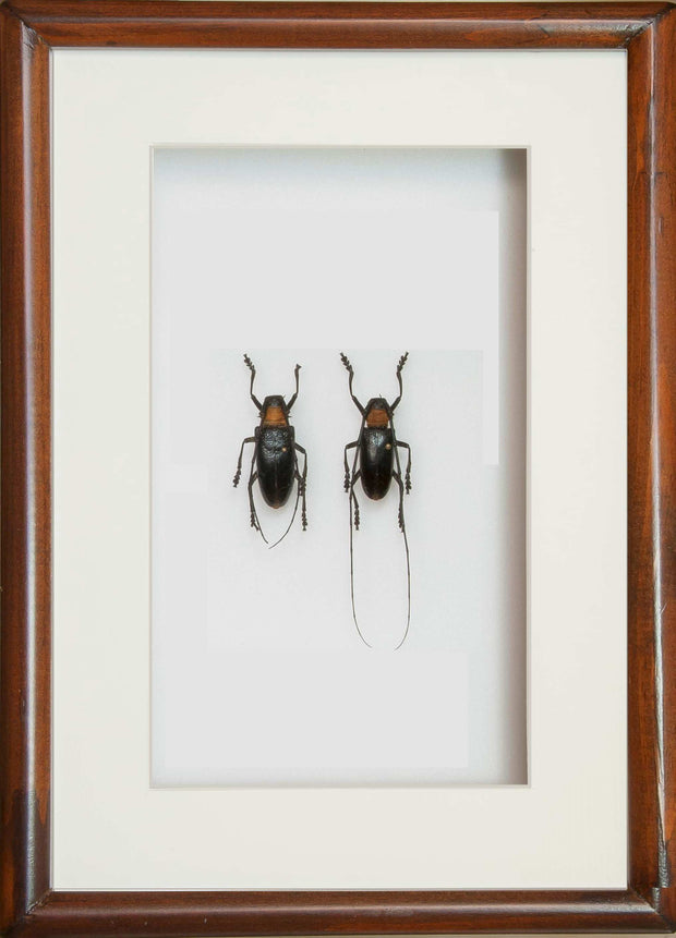 Nemophas Pair - Insect Frame UK