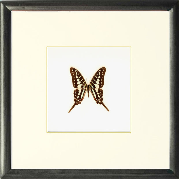 Striped Swordtail Solid wood Black, Butterfly Frame - Insect Frame UK, Insect Frame UK  - 1