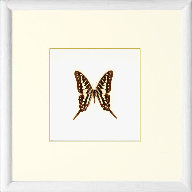 Striped Swordtail Solid wood white, Butterfly Frame - Insect Frame UK, Insect Frame UK  - 2