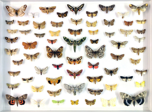 Seventy British Moths , Natural History Collection - Insect Frame UK, Insect Frame UK  - 1