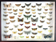 Seventy British Moths , Natural History Collection - Insect Frame UK, Insect Frame UK  - 2