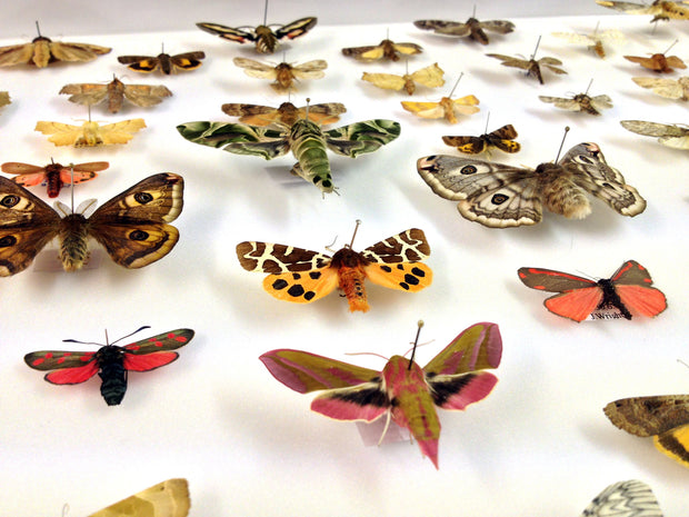 Seventy British Moths , Natural History Collection - Insect Frame UK, Insect Frame UK  - 3