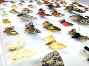 Seventy British Moths , Natural History Collection - Insect Frame UK, Insect Frame UK  - 4