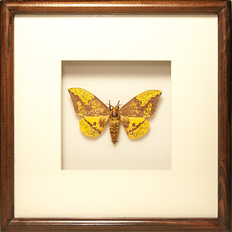 Imperial Moth Imperial on brown solid wood, Moth Frame - Insect Frame UK, Insect Frame UK  - 1