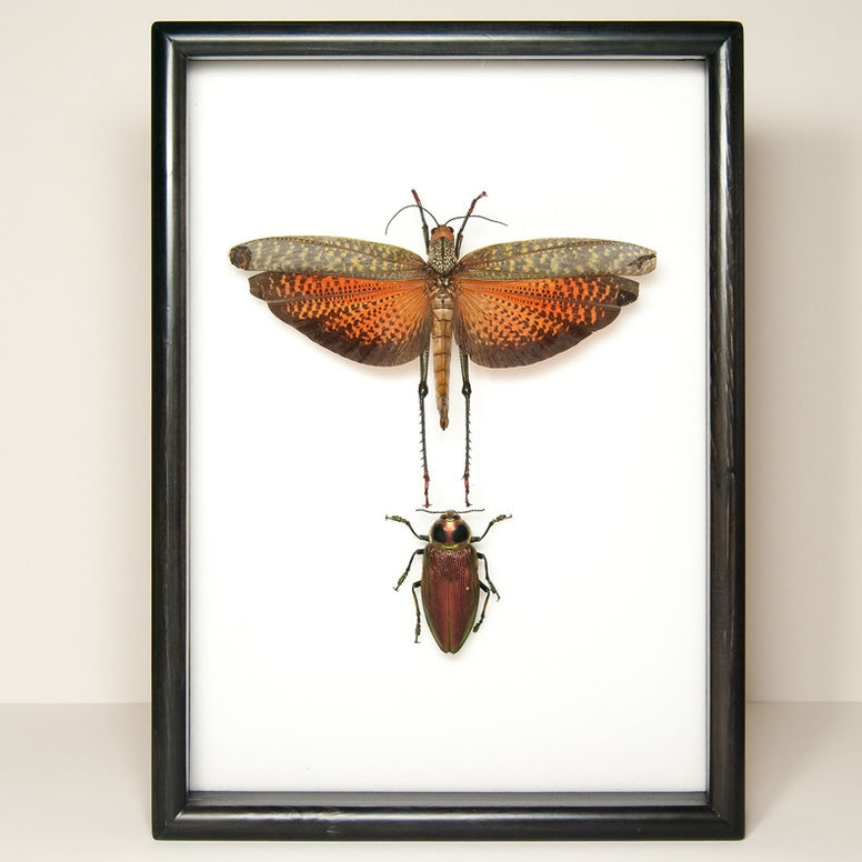 Incas Insects Collection from Peru - Insect Frame UK