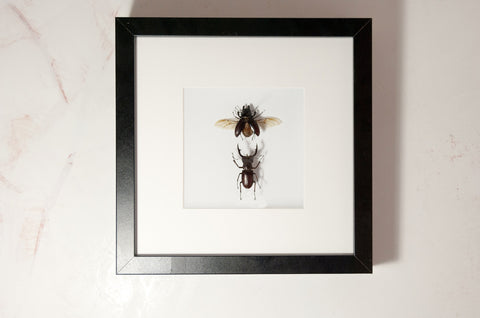 Lucanidae Pair Black frame 25x25, Beetle Frame - Insect Frame UK, Insect Frame UK  - 1