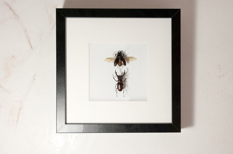 Lucanidae Pair - Insect Frame UK