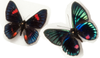 Peruvian Duo , Butterfly Frame - Insect Frame UK, Insect Frame UK  - 3
