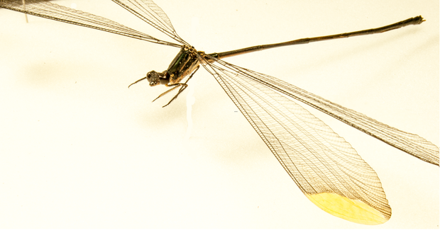 Giant Damselfly , Insect Frame - Insect Frame UK, Insect Frame UK  - 3
