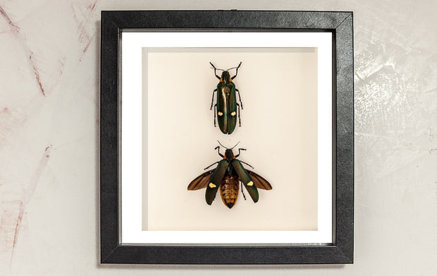 Giant Jewel Beetle- Megaloxantha bicolor Pair Black frame, Beetle Frame - Insect Frame UK, Insect Frame UK  - 2