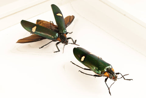 Giant Jewel Beetle- Megaloxantha bicolor Pair White frame, Beetle Frame - Insect Frame UK, Insect Frame UK  - 1