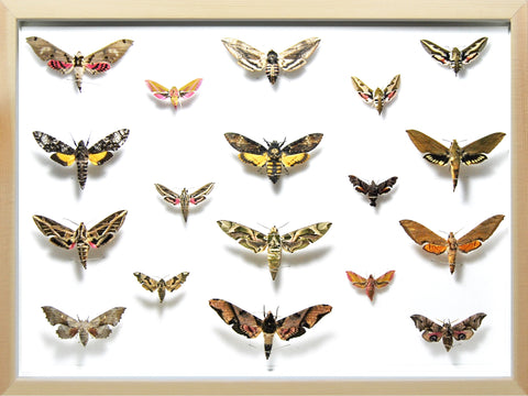 Death's head Hawk Moth Collection Pine wood, Natural History Collection - Insect Frame UK, Insect Frame UK  - 2