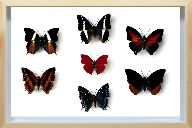 Sangaris Butterfly Collection Natural, Natural History Collection - Insect Frame UK, Insect Frame UK  - 1