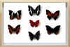 Sangaris Butterfly Collection - Insect Frame UK