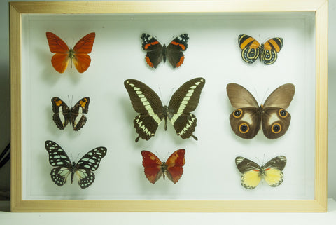 World Tropical butterflies collection - Insect Frame UK
