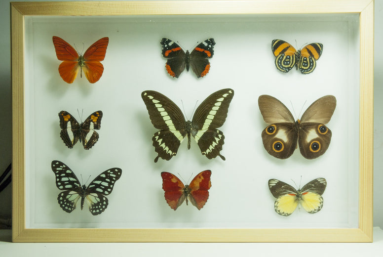 World Tropical butterflies collection Pinewood_frame, Natural History Collection - Insect Frame UK, Insect Frame UK