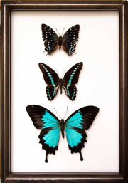 "New ""Out of the Blue"" Collection - Insect Frame UK"
